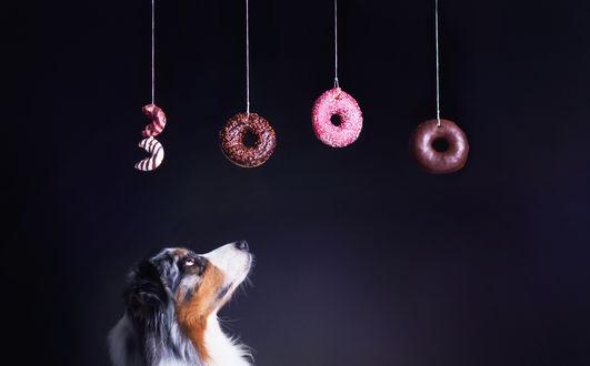 Обои Австралийская овчарка смотрит на пончики, образующие цифру 3000