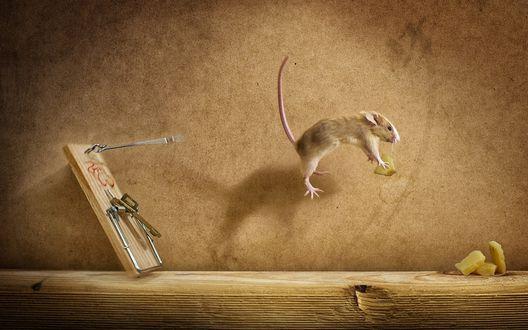 Обои Мышь прыгает с мышеловки с кусочком сыра
