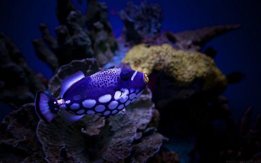 Обои Рыба спинорог клоун плывет под водой