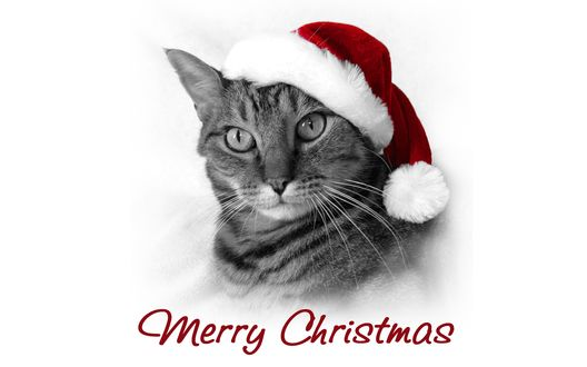 Обои Кот Санта в шапочке на белом фоне (Merry Christmas / Веселого Рождества)