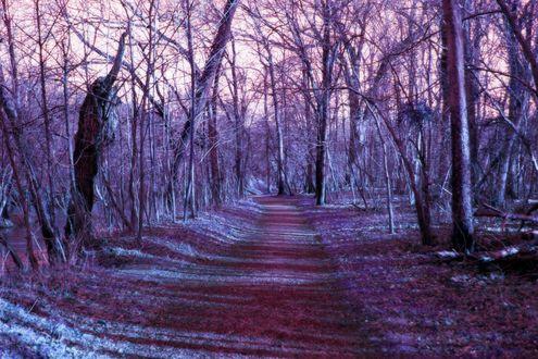 Обои Феолетовый лес без листьев, страшный