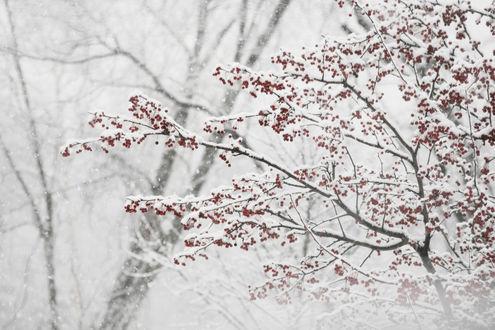 Обои Зимние красные ягоды под снегом зимой в лесу