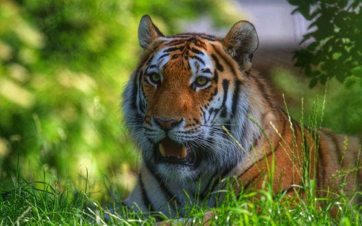 Обои Тигр лежит на зеленой траве