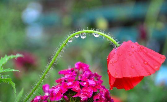 Обои На стебле мака капельки дождя, фотограф Anoop Kumar