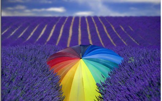 Обои Цветной зонтик на поле с лавандой