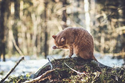 Обои Рыжий кот умывается, by Ellieeh