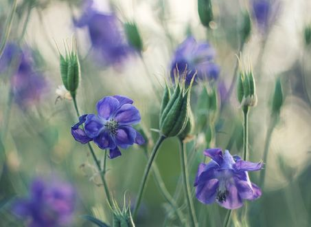 Обои Голубые цветы на размытом фоне, фотограф Инна Сухова
