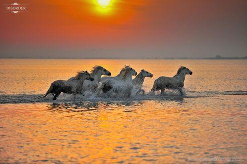 Обои Лошади в воде на фоне заката, фотограф Marijan Vuсiс