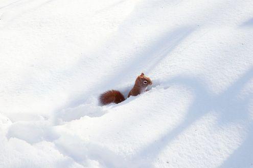 Обои Белочка на снегу