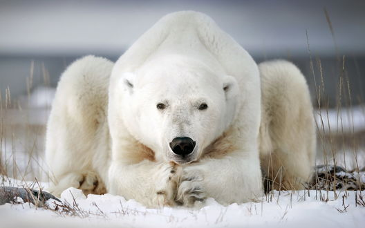Обои Белый медведь лежит на снегу