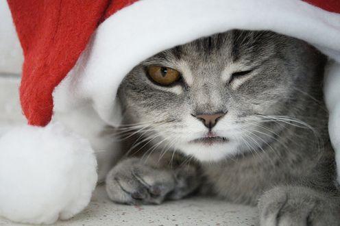 Обои Серый кот подмигивает из-под шапки Санты