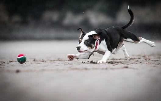 Обои Собака играет с мячом