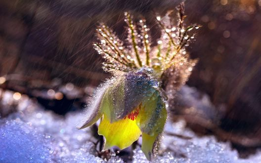 Обои Желтый цветок сон-травы под дождем