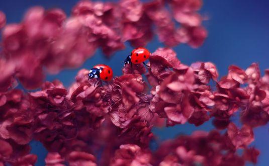 Обои Божьи коровки на веточке цветов, фотограф Elena Andreeva