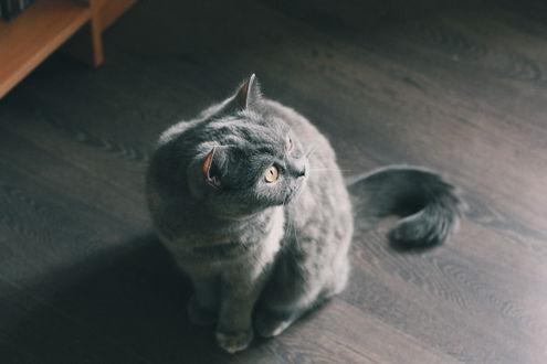 Обои Серый кот сидит на полу