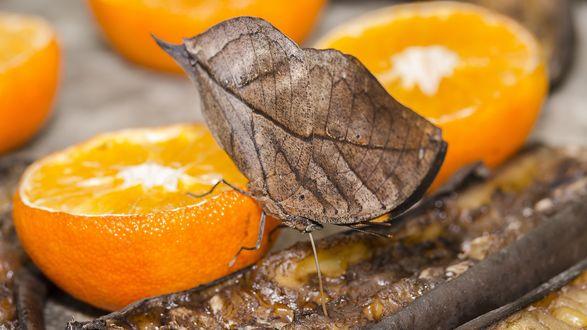 Обои Бабочка сидящая на половинке апельсина