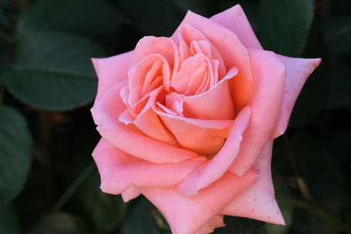 Обои Розовая роза с листьями, фотограф Fumie Lorenzo