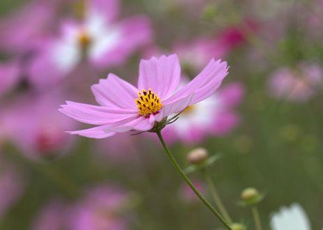Обои Розовый цветок космеи на размытом фоне, фотограф Fumie Lorenzo