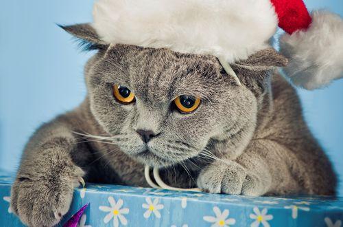 Обои Британский кот в шапке Санта-Клауса зажал подарки
