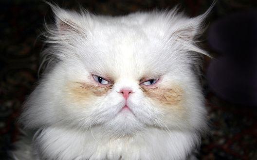 Обои Неумытый белый пушистый кот на размытом темном фоне