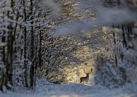 Обои Олень в зимнем лесу, фотограф Darius Babelis