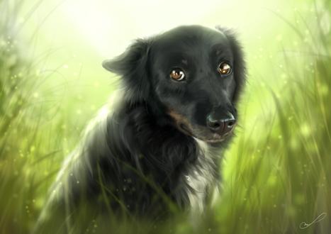 Обои Собака породы бордер - колли сидит в траве, by Martith