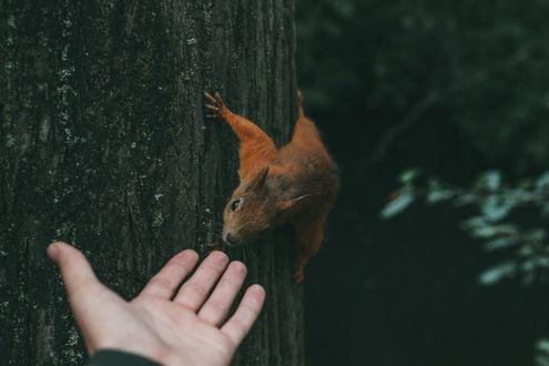 Обои Человек протянул руку к белке на дереве, фотограф igor cibulsky