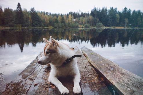 Обои Собака хаски лежит на деревянном мостике у озера