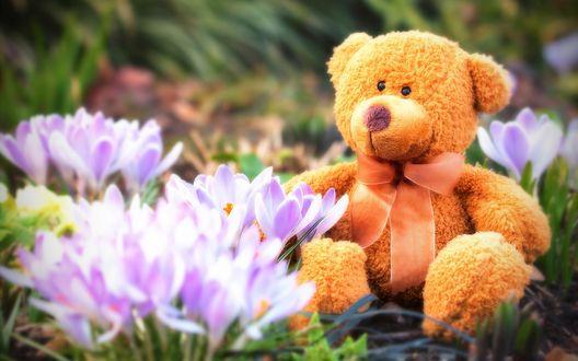 Обои Плюшевый медвежонок с бантиком сидит возле распустившихся крокусов