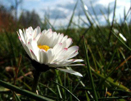 Обои Ромашка в траве, by schneeengel
