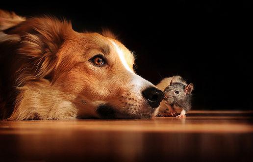 Обои Собака лежит на полу рядом с крысой, фотограф Anne Geier