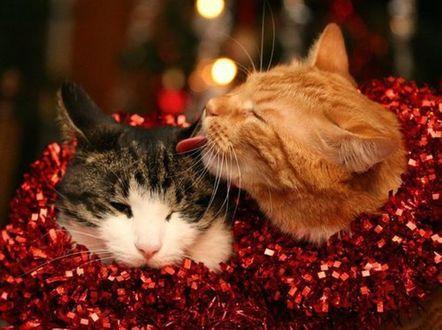 Обои Новогодние романтичные котики в красной мишуре