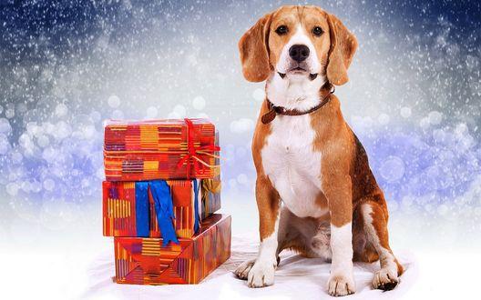 Обои Собака породы бигль сидит возле подарочных коробок под падающим снегом