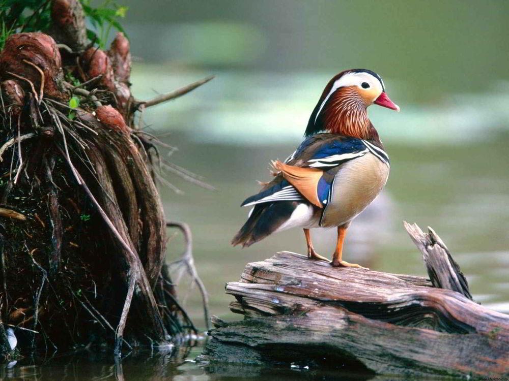 Просто утка, сидящая на дереве, листай дальше. | Пикабу | 750x1000