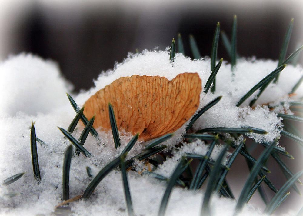 Обои для рабочего стола Осенний лист на ветке в снегу, фотограф Ирек Фахрутдинов