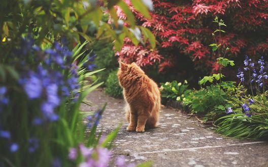 Обои Рыжий кот сидит на дорожке в летнем саду