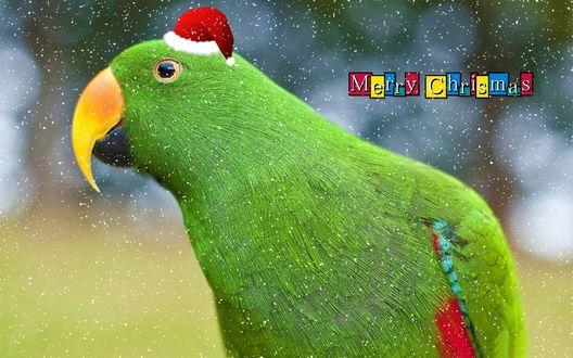 Обои Рождественский зеленый попугай в шапочке Санта Клауса (Merry Christmas / Веселого Рождества)