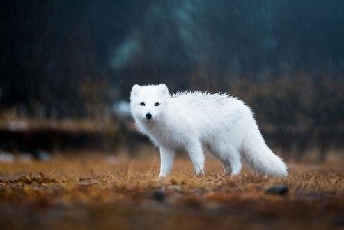 Обои Белый песец на природе, фотограф Lizzy Gadd