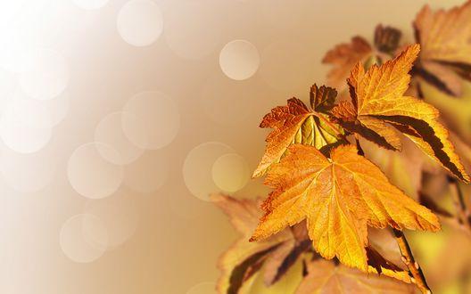 Обои Кленовые листья на фоне бликов, by Larisa Koshkina