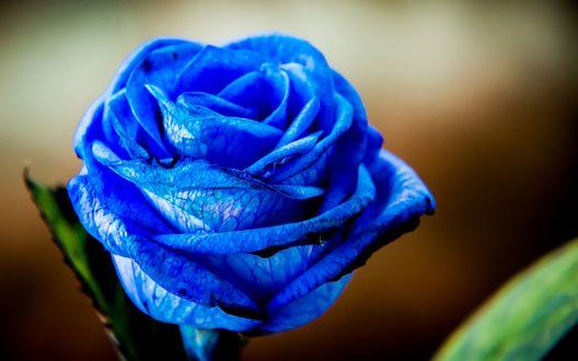 Обои Бутон голубой розы крупным планом