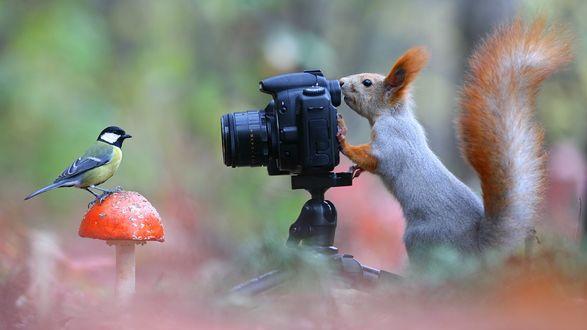 Обои Белка фотографирует синицу, стоящую на грибе