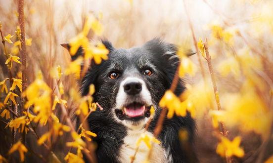 Обои Собака черно - белого окраса в осенней листве