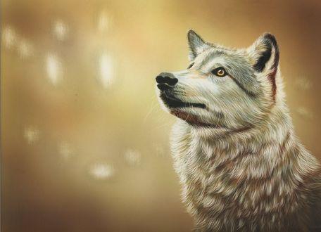 Обои Кареглазая волчица смотрит куда - то вдаль