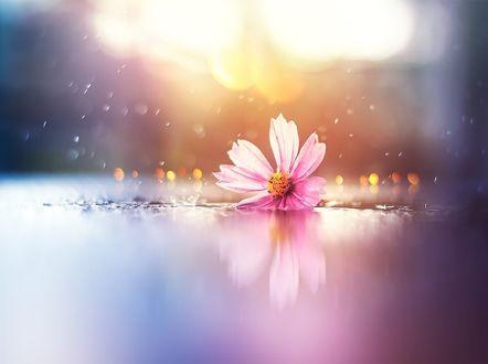 Обои Цветок космеи и его отражение на поверхности, фотограф Ashraful Arefin