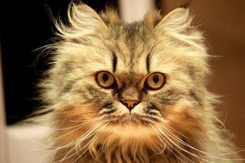 Обои Пушистый кот с гипнотизирующим взглядом