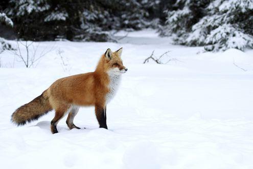 Обои Рыжая лисица стоит, принюхиваясь к чему - то, на белоснежном насте на лесной поляне