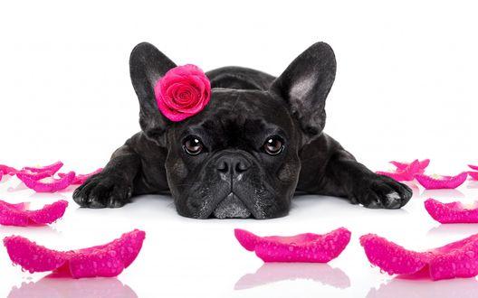 Обои Французский бульдог с розовой розой возле ушка лежит на белой поверхности в окружении лепестков