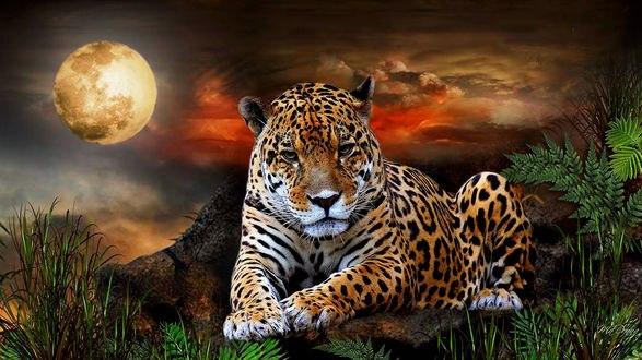 Обои В лунную ночь грустный ягуар лежит на камнях среди высоких трав