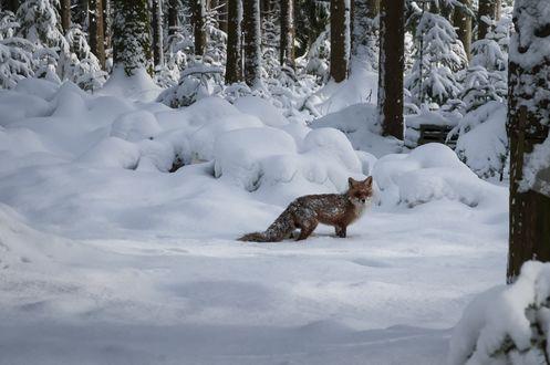 Обои Лиса в зимнем лесу