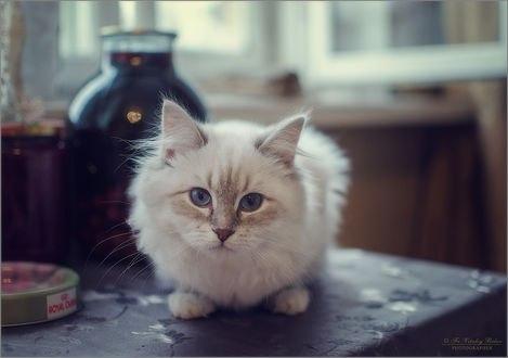 Обои Пристальный взгляд голубоглазого котенка, фотограф Optina